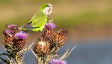 235383-parakeets