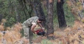 Αρχίζει τη Δευτέρα η υλοτόμηση των δέντρων που έχουν πληγεί από το φλοιοφάγο έντομο