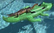 Φλόριντα: Βρήκαν τον αλιγάτορα να λιάζεται στην πισίνα τους!
