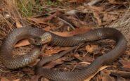 Έδωσε μάχη με δηλητηριώδες φίδι ενώ οδηγούσε – Τον σταμάτησε η αστυνομία επειδή έτρεχε