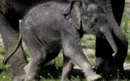 Μαμά ελεφαντίνα σκοτώνει κροκόδειλο για να σώσει το μικρό της (VIDEO)
